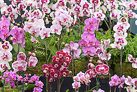 Phalaenopsis Orchids, variety and mix of types, colors, sizes from small to large, species, hybrids. white, red. pink, white with colored lip, blush, striped, spotted, equestri multiflorals, large