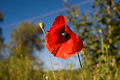 Red poppy on a roadside in the Chianti region of Tuscany, Italy.
