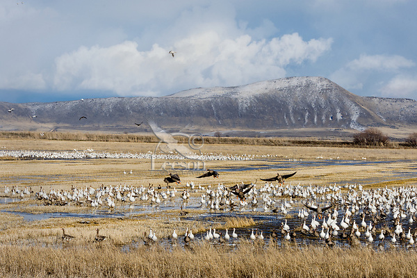 Snow Geese (Chen caerulescens) and Greater White-fronted Geese, Lower Klamath NWR, Oregon/California.  Spring