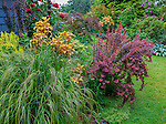 Vashon-Maury Island, WA: Summer perennial garden featuring Anemanthele lessoniana 'Pheasant's Tail Grass', Asiatic Hybrid Lily  'Graffity', barberry 'Orange Rocket' and Hybrid Tea Rose 'Mr Lincoln'