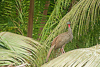 Crested Guan in palm, Belize