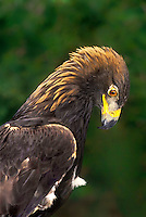521099034 portrait of a wildlife rescue female golden eagle aquila chrysaetos a federally threatened species - hatari