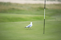 Seagull during Day 2 / Foursomes of the Boys' Home Internationals played at Royal Dornoch Golf Club, Dornoch, Sutherland, Scotland. 08/08/2018<br /> Picture: Golffile | Phil Inglis<br /> <br /> All photo usage must carry mandatory copyright credit (&copy; Golffile | Phil Inglis)