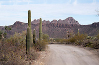 Saguaro cactus stand next to a dirt road in the hills of Saguaro National Park West (Tucson Mountain District) near Tucson, Arizona, USA.