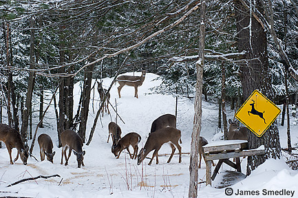 White-tailed deer feeding near a deer crossing sign