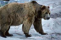 Kodiak beer (Ursus arctos)