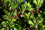 The Arbutus tree, native to ireland and known as 'The Strawberry Tree. This tree is photographed beside Brickeen Bridge on Lough leane in Killarney national park.<br /> macmonagle.com archive<br /> e: info@macmonagle.com
