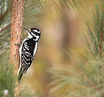 Female hairy woodpecker on a red pine tree in northern Wisconsin.