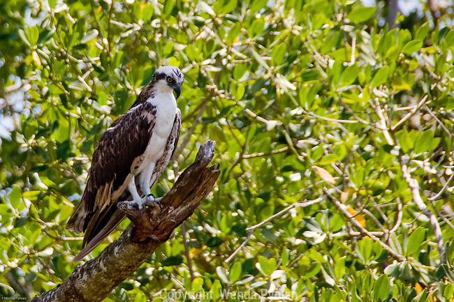 The osprey lives near fresh or salt water and eats mostly fish.
