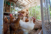 Chickens at Edendale Farm. Edendale Farm is a model of permaculture and urban farming, a closed system of organic gardening, water and energy conservation and sustainable design. Silver Lake, Los Angeles, California, USA
