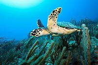 hawksbill sea turtle, Eretmochelys imbricata, Palm Beach, Palm Beach County, Florida, USA, Atlantic Ocean