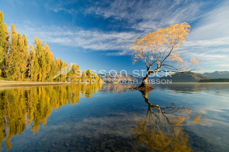 Willow tree and poplars refected in Lake Wanaka, South Island, New Zealand