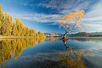 Willow tree and poplars refected in Lake Wanaka, South Island, New Zealand