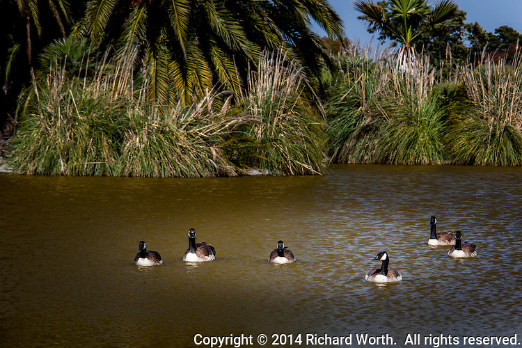 A gaggle of Canada geese floats in an urban park pond near San Francisco Bay.