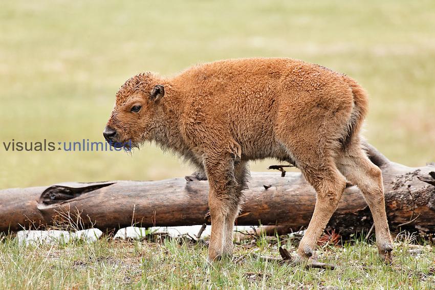 Bison Calf (Bison bison), Yellowstone National Park, Wyoming, USA.