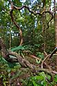 Twisted vines, lowland rain forest. Masoala Peninsula National Park, north east Madagascar.