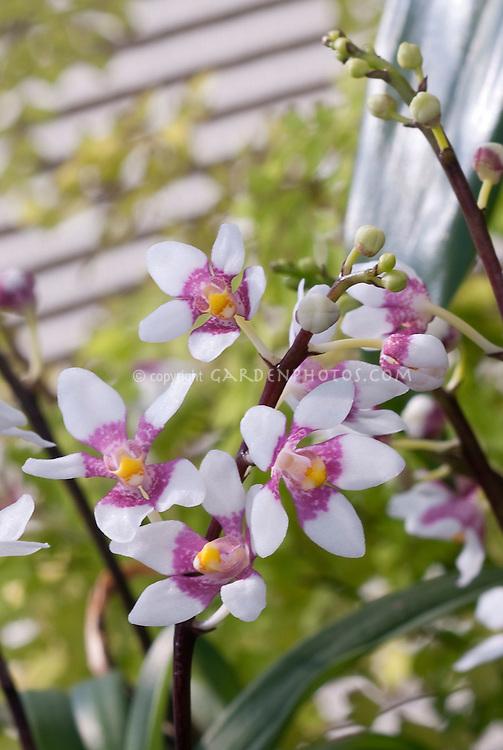 Sarcochilus fitzgeraldii Orchid