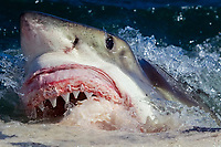 great white shark, Carcharodon carcharias, feeding on Brydes whale carcass, Balaenoptera brydei,, Seal Island, False Bay South Africa