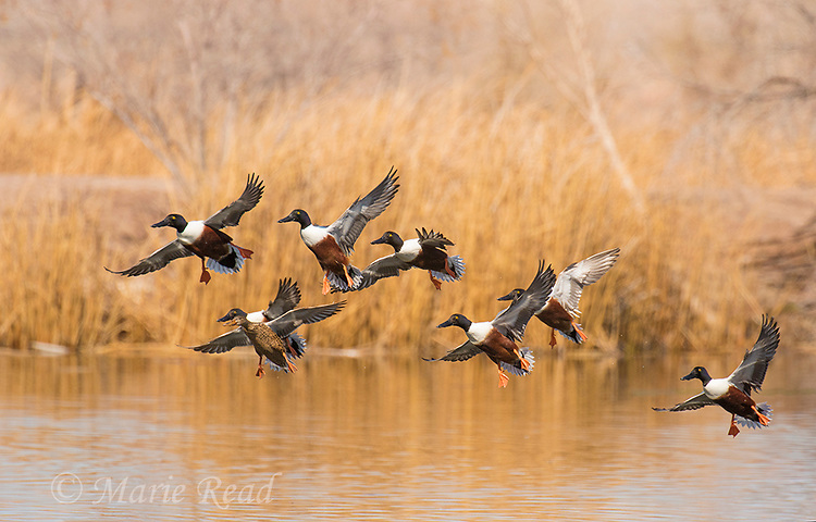 Northern Shovelers (Anas clypeata), breeding plumage, flock flying in to land on water, Henderson, Nevada.