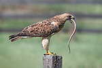 Swainson's Hawk has Garter Snake as tongue by Hilary Bralove