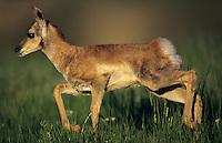 Pronghorn Antelope fawn.  Western U.S., June.
