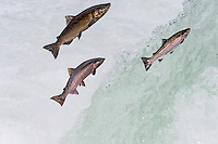 Salmon jumping falls on fall spawning migration.  (Left to Right) Chinook or King Salmon (Oncorhynchus tshawytscha), coho or silver salmon (Oncorhynchus kisutch), steelhead (Oncorhychus mykiss).  While this is a digital composite, the chinook and steelhead were photographed on the same day jumping the same falls, coho started arriving about a week later.