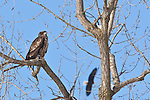 A young eagle rests in a tree as an older bird flies overhead in search of a meal on the Mississippi River on a winter day.