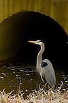 Photo by Phil Grout..A Great Blue Heron fishes along Bear Branch, underneath an overpass.on Van Dusen Road in Laurel as the stream runs out of  newly.excavated erosion control ponds and  eventually into Laurel Lakes.