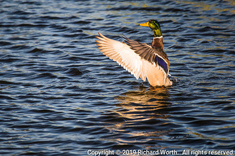 Its iridescent green head glistening with water droplets, a male mallard duck spreads its wings at an urban park in the San Francisco Bay area.