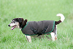 Elderly Dog Wearing Coat - Jack Russell, standing outside, UK