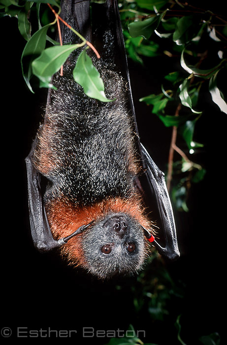 Grey-headed Flying Fox (Pteropus poliocephalus). Sydney, Australia.