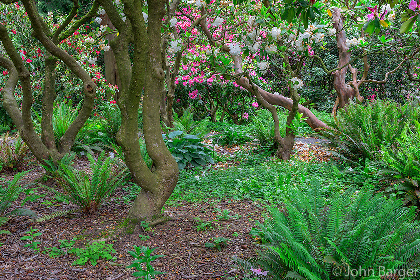 ORPTC_D206 - USA, Oregon, Portland, Crystal Springs Rhododendron Garden, Woody branches of rhododendrons in bloom and ferns in understory.
