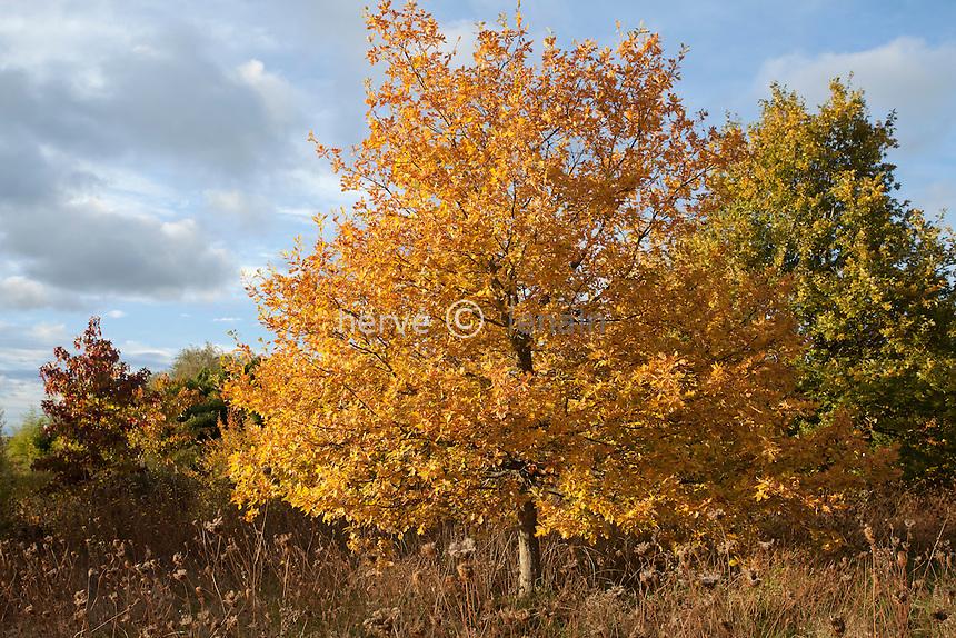 Chêne en automne // Oak in autumn