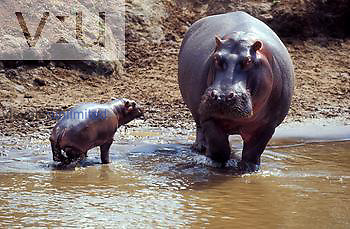 Hippopotamus ,Hippopotamus amphibus, with calf, Masai Mara Game Reserve, Kenya, Africa