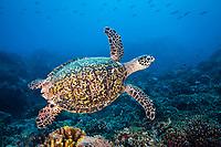 Hawksbill turtle, Eretmochelys imbricata, Tubbataha Reef, Philippines.