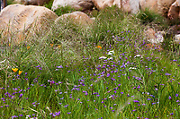Stipa pulchra, Purple Needlegrass,  California native grass in garden meadow lawn with Blue-eyed grass (Sisyrinchium bellum) and wildflowers; Schaff Garden