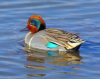 Male green-winged teal