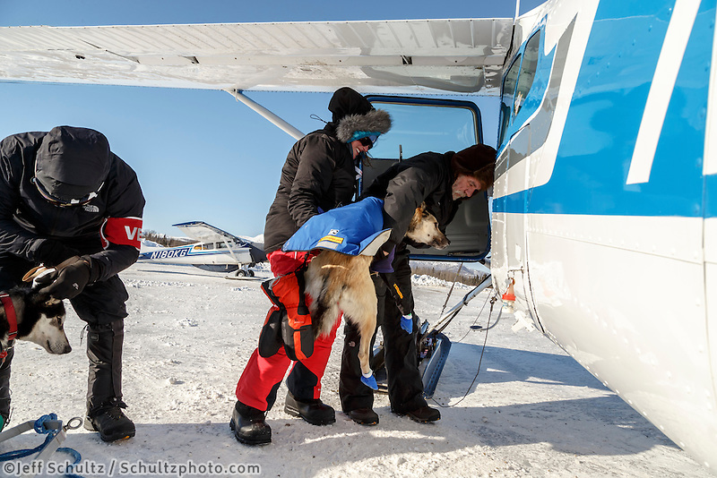 Volunteer pilot Greg Fischer loads a dropped dog at the Kaltag checkpoint on the afternoon of Sunday  March 15, 2015 during Iditarod 2015.  <br /> <br /> (C) Jeff Schultz/SchultzPhoto.com - ALL RIGHTS RESERVED<br />  DUPLICATION  PROHIBITED  WITHOUT  PERMISSION