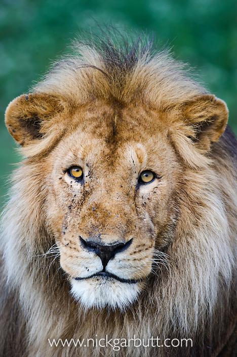 Male African Lion (Panthera leo) at Big Marsh, near Ndutu, Nogorongoro Conservation Area / Serengeti National Park, Tanzania.