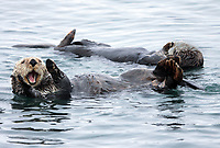 A mature sea otter, Enhydra lutris nereis, is interacting with his mouth open and his paws up @ Moss Landing in the Monterey Bay National Marine Sanctuary.