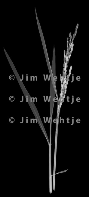 X-ray image of a black rice plant (white on black) by Jim Wehtje, specialist in x-ray art and design images.