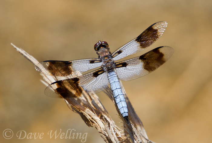 398230010 a wild mature male desert whitetail dragonfly plathemis subornata near little hot creek north of benton crossing road mono county california