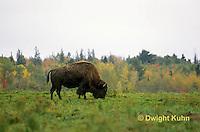 MA31-001z  American Bison - buffalo - Bison bison