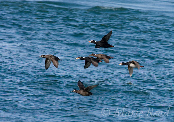 Surf Scoters (Melanitta perspicillata) flock of males and females in flight, Barnegat Inlet, New Jersey, USA