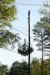 April, 2007:  Climber cuts off the top of pine tree while clear-cutting a suburban lot as part of a 'tear-down' redevelopment project in a fully developed suburb of Atlanta, Georgia.