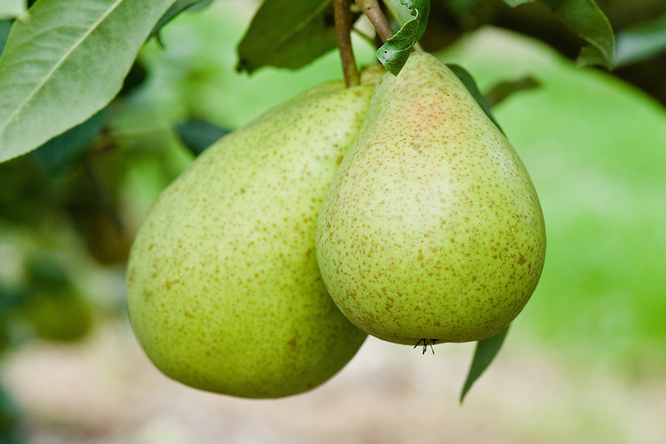 """Pear 'Beurre Bedford', early September. An Engish pear """"raised in 1902 by Laxton Brothers at Bedford from 'Marie-Louise' x 'Durondeau', introduced in 1921. A fair quality pear of moderate cropping."""" ('Pears' by Jim Arbury and Sally Pinhey)"""