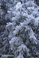 1I02-005a  Ice storm, winter, ice covered pine tree