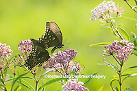 03029-01502 Spicebush Swallowtail Butterflies (Papilio troilus) male and female on Swamp Milkweed (Asclepias incarnata), Marion Co., IL