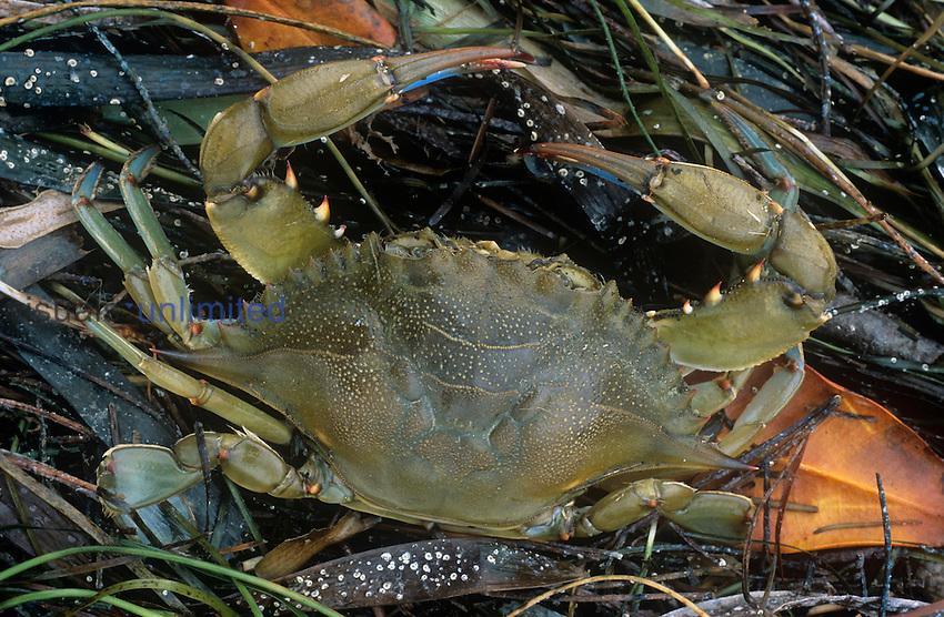 Lady Crab (Ovalipes ocellatus), Everglades, Florida, USA.