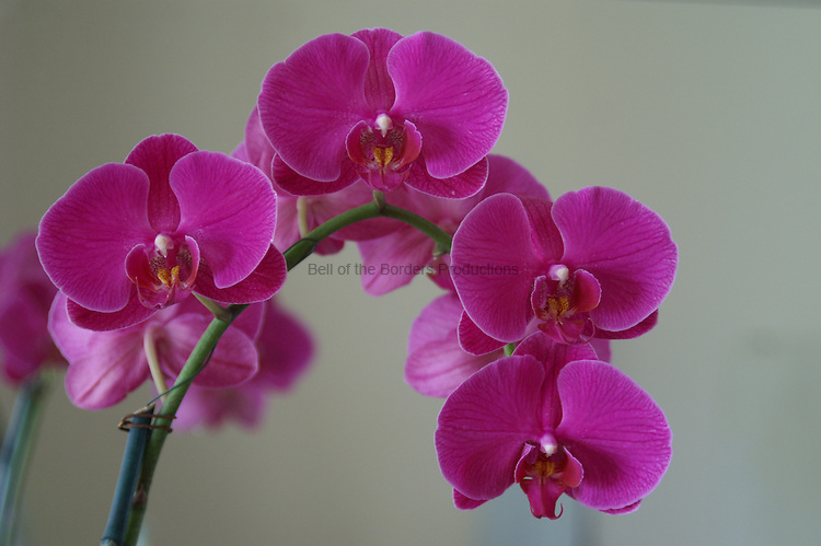 The double spray of orchids is particulary graceful in appearance.